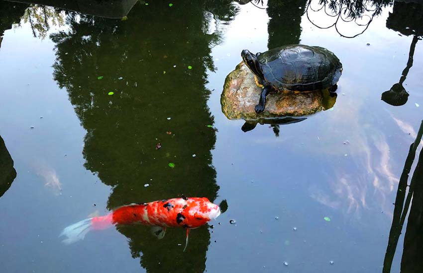 turtle and fish pond