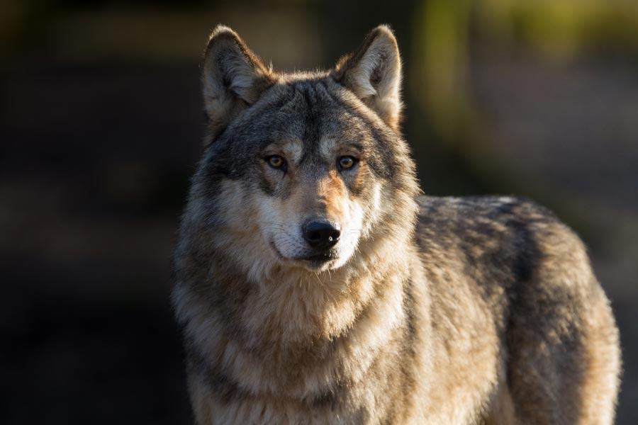 grey wolf at St Augustine Wild Reserve