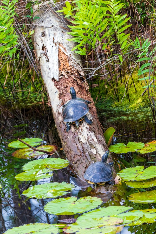 turtles in Okefenokee National Wildlife Refuge