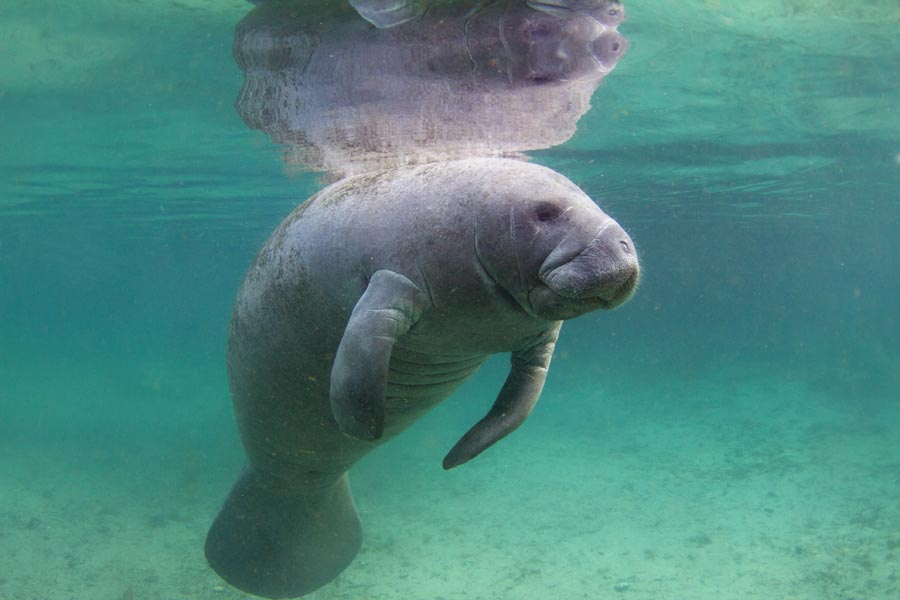 Jacksonville Zoo manatee