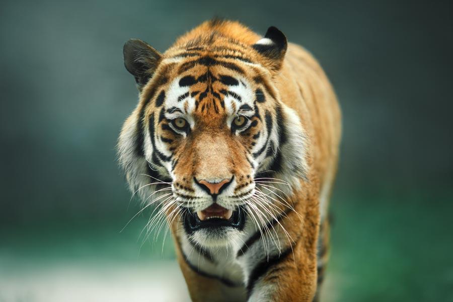 Jacksonville Zoo tiger