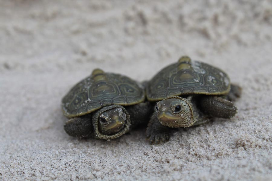 baby sea turtles at Big Talbot Island State Park